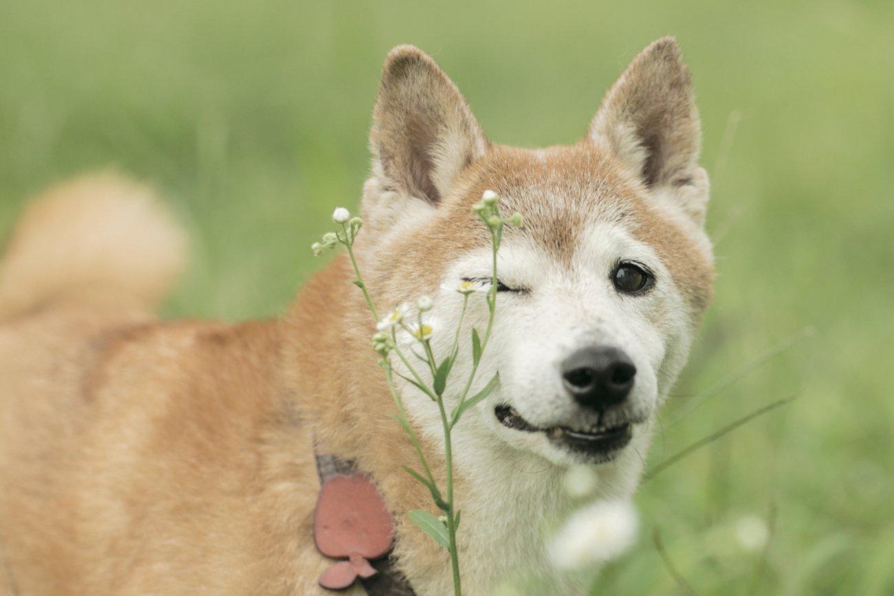 柴犬シニア